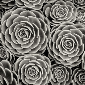 Hen & Chicks - BW_06495