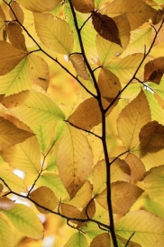 Birch Leaves - 2V_416812