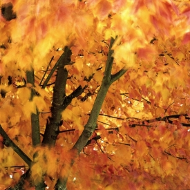Orange Maple - 1S_61607