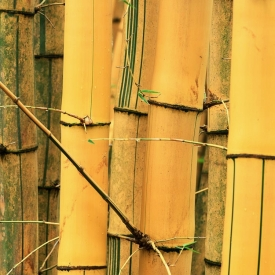 Bamboo Forest - 1S_56305