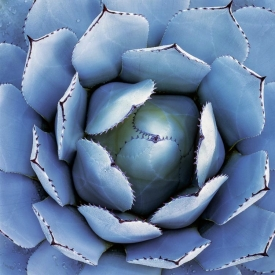 Agave In Blue - 1S_60907